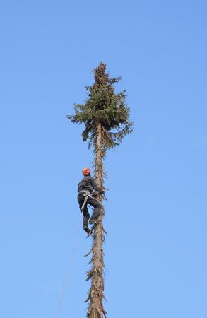 professional lumberjack climbing up a very high fir tree