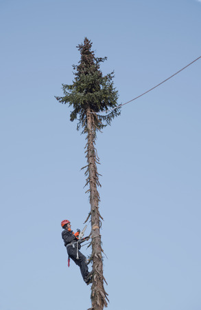 tree felling: lumberjack hanging high up in the fir tree, cutting a saw kerf for felling