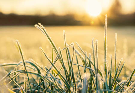 selective focus: frosted grass in golden morning sun at sunrise, selective focus.