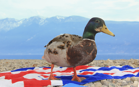 nosey: snoopy duckling on a towel at the beach of a mountain lake