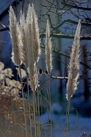 pampas: bright pampas grass, cortaderia selloana in winter