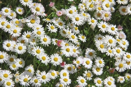 blotched: garden lawn, blotched with daisies