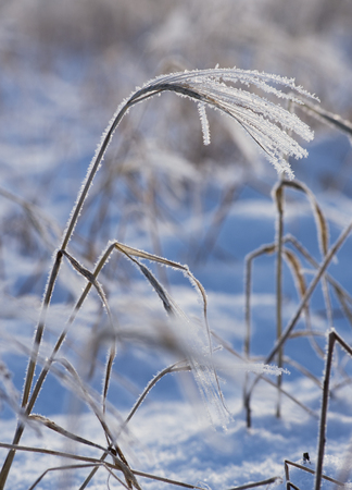 wintry weather: blade of grass with hoar frost in winter Stock Photo