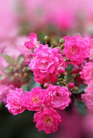 rose bush: pink rose bush with soft gradient background, selective focus. Stock Photo