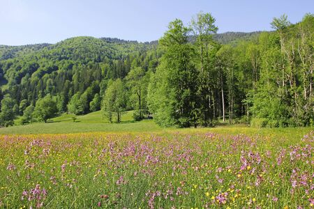 ragged robin: alpine spring landscape with wildflower meadow and green hills Stock Photo