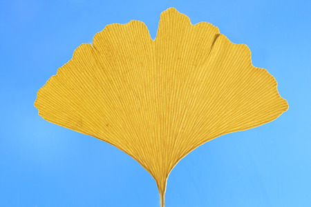 ginkgo leaf: one dried yellow ginkgo leaf against blue sky