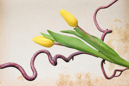 yellowed: vintage paper with yellowed pattern, corkscrew twig and two yellow tulips