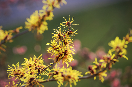 witch hazel: early blooming witch hazel, yellow hamamelis intermedia in spring garden Stock Photo