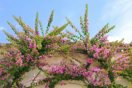 rambler: bougainvillea rambler plant on a house facade, blue sky Stock Photo