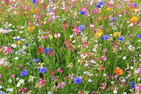 beautiful flower meadow with various colorful flowers, fodder plants for bees.