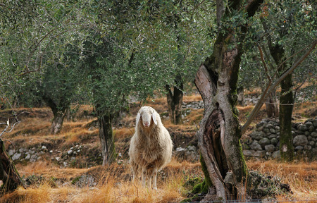 napped: one woolly sheep in the olive grove