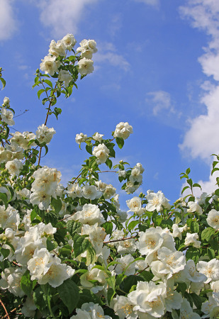 jasmine bush: white jasmine bush branches full bloom and blue sky with clouds at springtime Stock Photo