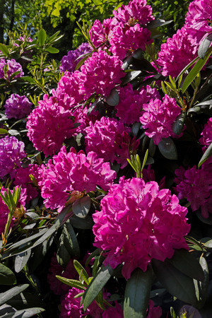 flourishing: flourishing rhododendron bush with pink blossoms in the garden