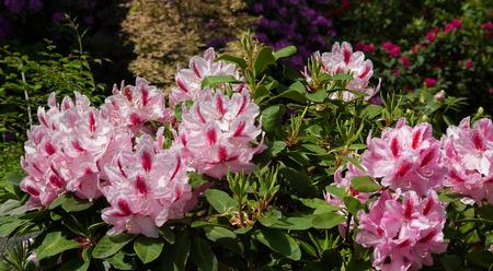mottled: rhododendron bush with mottled pink bloom