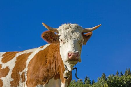 skewbald: bavarian milker outdoor, brown and white brindled, blue sky Stock Photo