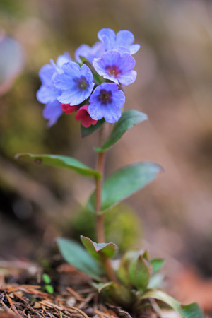 pulmonaria: common lungwort - pulmonaria officinalis in two colors. Selective focus.
