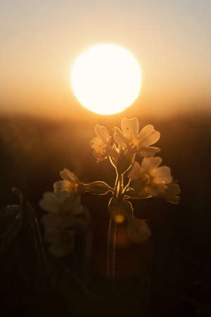 cowslip: cowslip wildflowers back lighted with golden evening sun, selective focus.