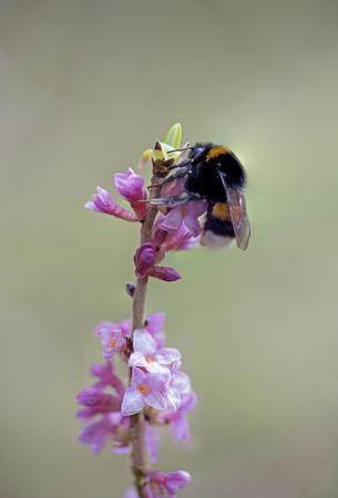 mezereum: bumblebee on pink blooming daphne twig - toxic plant, selective focus.