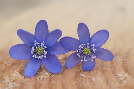 liverwort: two purple liverwort blossoms on a wooden tree  slice - hepatica nobilis