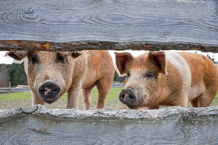 adequate: two pigs behind lattice fence, red variegated husum pigs