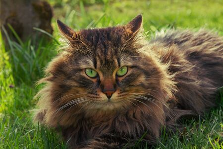 pedigree: fluffy brown siberian pedigree cat with green eyes, lying in the garden Stock Photo
