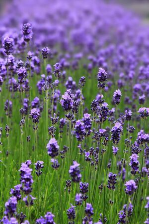 lavender blossoms - fragrant perennial herb in the garden