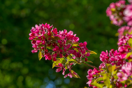 crab apple tree: back lighted branch of a crab apple tree with red blossoms Stock Photo