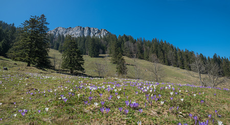 blotched: meadow blotched with tommy crocus at springtime, bavarian mountain landscape Stock Photo