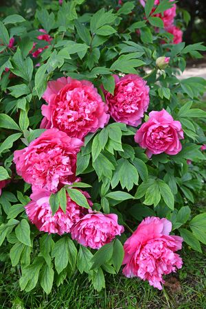 hardy: peony bush with filled pink blossoms, hardy perennial herb and homeopathic plant Stock Photo