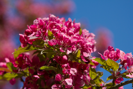 lighted: bright back lighted branch of a pink crab apple tree, full bloom, blue sky and selective focus Stock Photo