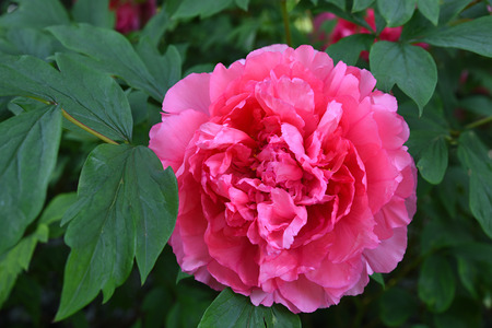 medicinal herb: one large pink peony flower with green leaves, medicinal herb Stock Photo