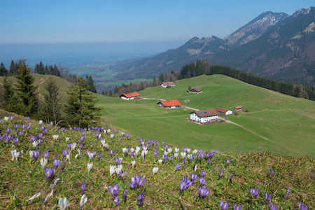 pictorial: pictorial alpine landscape with cabins and crocus meadow, upper bavaria