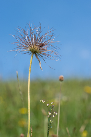 firebug: dry inflorescence of a faded pulsatilla flower with a firebug, blue sky and soft meadow background