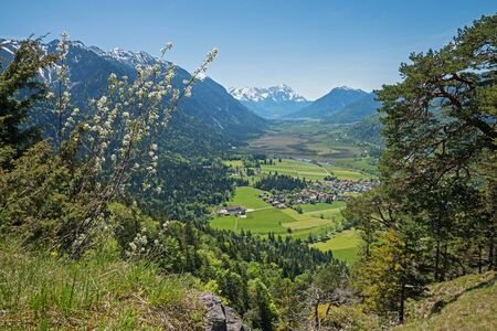 helvetica: lookout from hiking trail to loisach valley and zugspitze, view through pine trees and salix helvetica bush