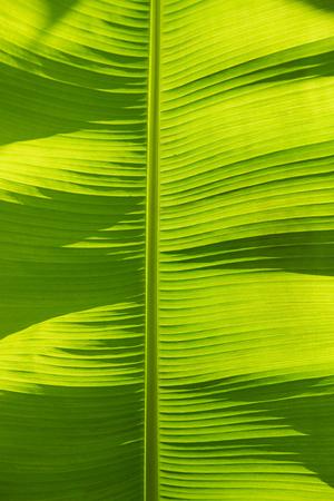 lighted: bright banana leaf background back lighted by sunshine