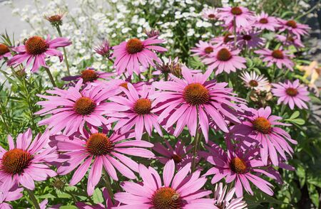 healing plant: echinacea purpurea - perennial herb and healing plant Stock Photo