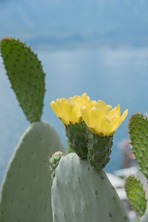 opuntia: opuntia cactus outdoors, with two yellow blossoms, selective focus