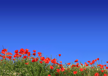 red poppies meadow with marguerite and blue sky background with copy space Stock Photo