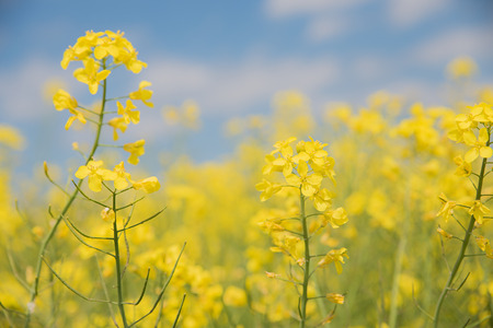 high key: soft rapeseed background high key with canola blossoms. Selective focus.