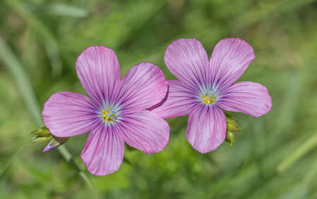 linum: pink flax blossoms - linum viscosum in the wildflower meadow