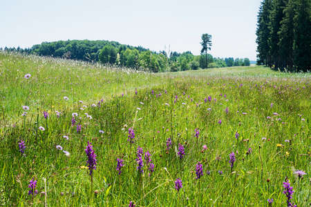 meadow with lots of wild purple dactylorhiza orchids