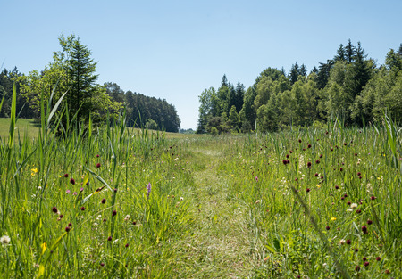 sanguisorba: path through the wetlands, wildflower meadow, nature protection area. Stock Photo
