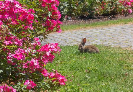 little rabbit in the blooming rose garden Stock Photo