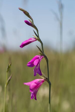 purple marsh gladiolus - rarely protected wildflower, wildlife shot