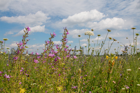 colorful wildflower meadow with high mallows - pink malva sylvestris