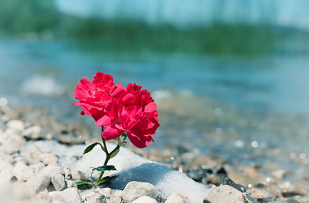 red rose flower at the stony beach, farewell scenery