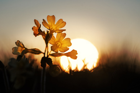 cowslip wildflower back lighted at dawn, with sun ball. Selective focus.