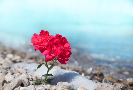 one red rose flower at the stony beach, soft blue background and space for text