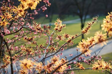 witch hazel: blooming witch hazel bush, hamamelis intermedia in the park. Medical plant.