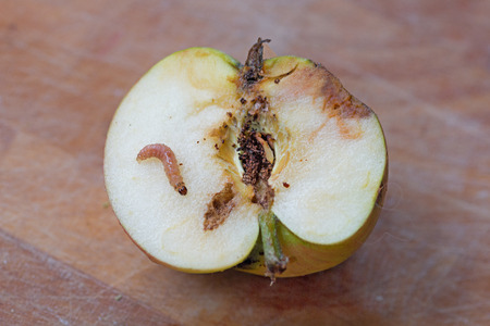 half of a wormy apple with maggot larva on wooden background Stock Photo